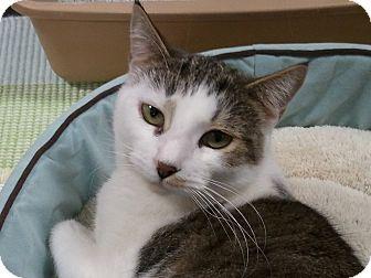 Domestic Shorthair Cat for adoption in Diamond Bar, California - HUSKY