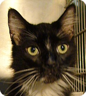 Domestic Longhair Cat for adoption in El Cajon, California - Newton