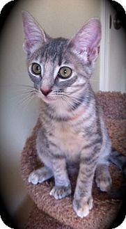 Domestic Shorthair Kitten for adoption in Brea, California - Chloe Jr.