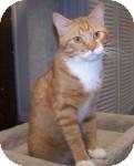 Domestic Shorthair Cat for adoption in Colorado Springs, Colorado - Jaxon