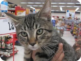 Domestic Shorthair Kitten for adoption in Warren, Michigan - Ollie