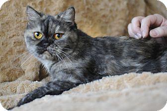 Exotic Cat for adoption in Columbus, Ohio - Miss Mandy