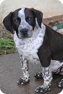 Labrador Retriever/Blue Heeler Mix Puppy for adoption in Yuba City, California - Timmy