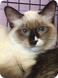 Tonkinese Kitten for adoption in Monroe, Georgia - Azreel