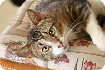 Domestic Shorthair Cat for adoption in Hopkinsville, Kentucky - Fella