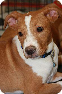 Labrador Retriever Mix Puppy for adoption in Phoenix, Arizona - Ryan
