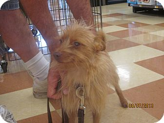Australian Terrier Dog for adoption in Chesterfield, Virginia - Foxy