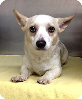 Corgi/Chihuahua Mix Dog for adoption in Dublin, California - Frankie
