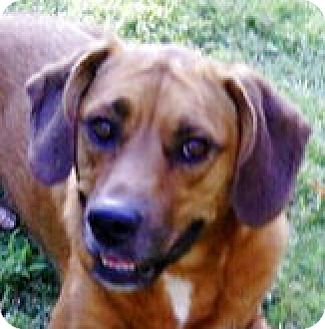 Beagle/Shepherd (Unknown Type) Mix Dog for adoption in Olive Branch, Mississippi - Daisy