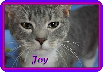 Domestic Shorthair Cat for adoption in Trevose, Pennsylvania - Joy