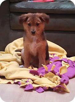 Shar Pei/Collie Mix Puppy for adoption in Hainesville, Illinois - Autumn