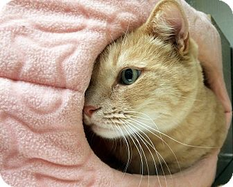 Domestic Shorthair Cat for adoption in Las Vegas, Nevada - Sidney