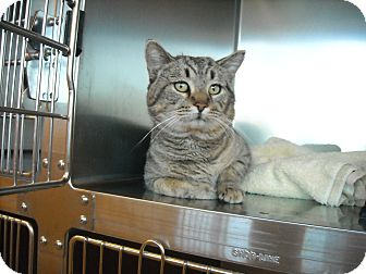 Domestic Shorthair Cat for adoption in Sierra Vista, Arizona - Christopher