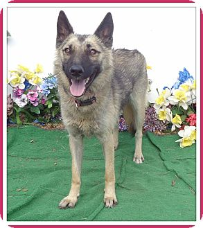 German Shepherd Dog Dog for adoption in Marietta, Georgia - COURTNEY
