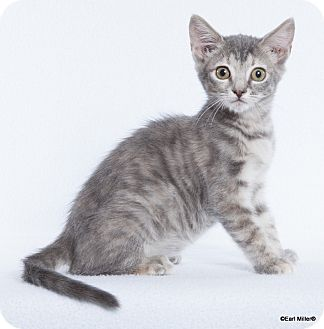 Domestic Mediumhair Cat for adoption in Las Vegas, Nevada - Sugar
