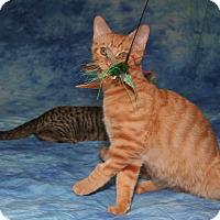 Adopt A Pet :: Mango - Cincinnati, OH