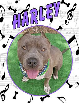 """American Pit Bull Terrier Mix Dog for adoption in Van Nuys, California - Harley aka """"Prince Charming"""""""