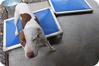 Pit Bull Terrier Mix Dog for adoption in Henderson, North Carolina - Sam*