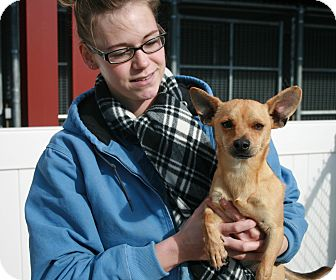 Chihuahua Mix Dog for adoption in Yucca Valley, California - Zinc Palo Storncloud