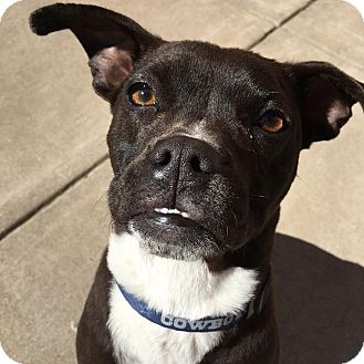 Boston Terrier/Pit Bull Terrier Mix Dog for adoption in Wichita Falls, Texas - Ribsy