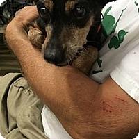 Adopt A Pet :: Daisy - Brooksville, FL