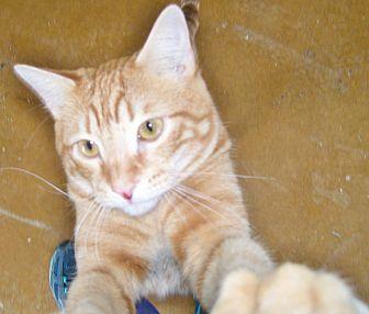 Domestic Shorthair Cat for adoption in Scottsdale, Arizona - George