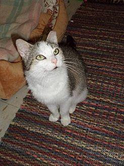 Domestic Shorthair Cat for adoption in Carlisle, Pennsylvania - KitneyCP