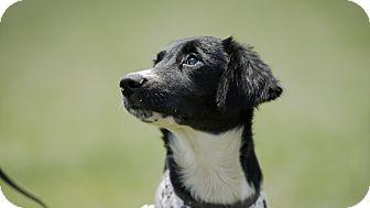 Border Collie/Labrador Retriever Mix Puppy for adoption in Pennigton, New Jersey - Tilly
