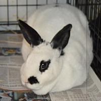 English Spot for adoption in Erie, Pennsylvania - Cecilia