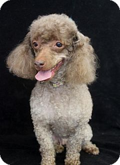 Poodle (Toy or Tea Cup) Dog for adoption in Wichita, Kansas - Co Co