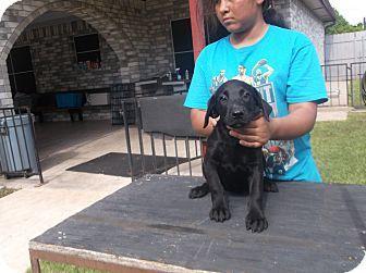 Labrador Retriever Mix Puppy for adoption in San Antonio, Texas - Honey
