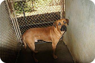 Labrador Retriever Mix Dog for adoption in Henderson, North Carolina - Buddy*