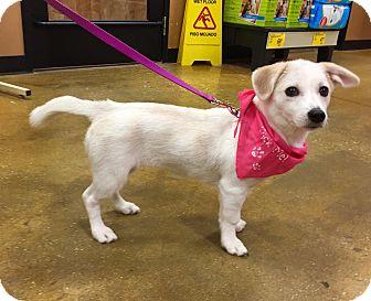 Spitz (Unknown Type, Medium) Mix Puppy for adoption in Smithtown, New York - Summer