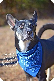 Husky/German Shepherd Dog Mix Dog for adoption in Fort Valley, Georgia - Kodi