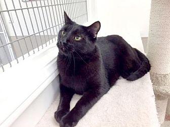 American Shorthair Cat for adoption in Westlake Village, California - Armando
