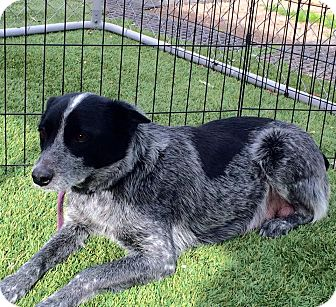 Blue Heeler Dog for adoption in Cave Creek, Arizona - Emily