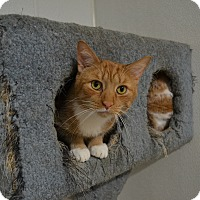 Adopt A Pet :: Pelican - Barn Cat - Broadway, NJ