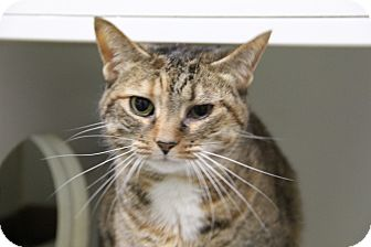 Domestic Shorthair Cat for adoption in Greensboro, North Carolina - Maddie