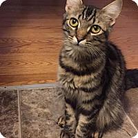 Domestic Shorthair Cat for adoption in Redmond, Washington - Alicia Keyes