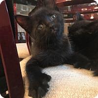 Adopt A Pet :: Baci - Montreal, QC