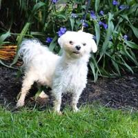 Maltese Mix Dog for adoption in Batavia, Ohio - Harlan