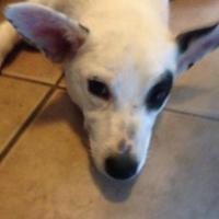 Adopt A Pet :: Buttercup - Garland, TX