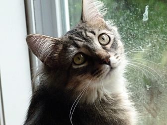 Maine Coon Cat for adoption in Stafford, Virginia - Braveheart