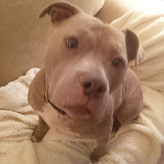 American Staffordshire Terrier/American Pit Bull Terrier Mix Dog for adoption in Kimberton, Pennsylvania - DONTE