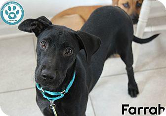 Labrador Retriever Mix Puppy for adoption in Kimberton, Pennsylvania - Farrah
