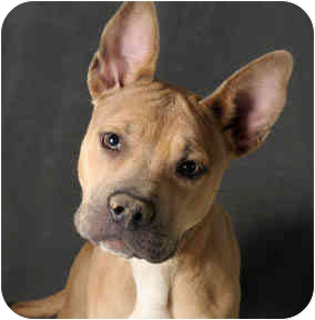 American Pit Bull Terrier/Shepherd (Unknown Type) Mix Dog for adoption in Chicago, Illinois - Fawn