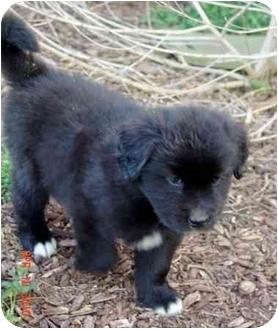 Labrador Retriever Mix Puppy for adoption in Jacksonville, North Carolina - Puppy #4