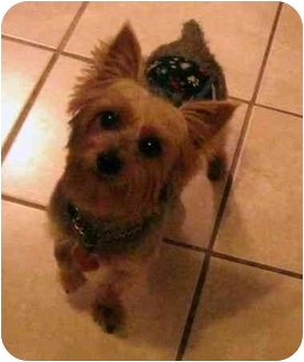 Yorkie, Yorkshire Terrier Dog for adoption in Conroe, Texas - Jackson