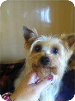 Yorkie, Yorkshire Terrier Mix Dog for adoption in Westport, Connecticut - Precious