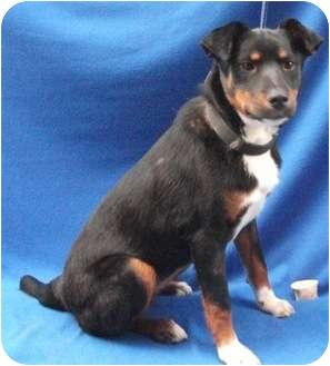 Entlebucher Mix Dog for adoption in Irvine, California - LUCY